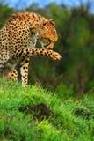 wild afrikansk cheetah Arkivfoton