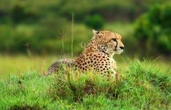 wild afrikansk cheetah Arkivbild