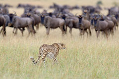 wild afrikansk cheetah Royaltyfria Foton