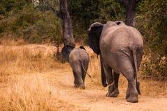 wild afrikansk elefant Fotografering för Bildbyråer