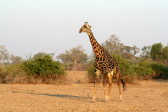wild afrikansk giraff Arkivbild