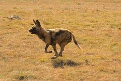 wild afrikansk hund Royaltyfria Bilder