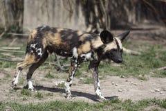 wild afrikansk hund Fotografering för Bildbyråer