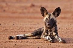 wild afrikansk hund Arkivfoto