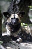 wild afrikansk hund Royaltyfri Bild