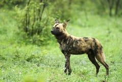 wild afrikansk hund Royaltyfri Foto