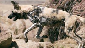 wild afrikansk hund Arkivbild