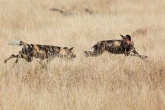 wild afrikansk hund Arkivbilder