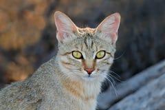 wild afrikansk katt Arkivbild