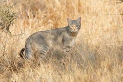 wild afrikansk katt Arkivbilder