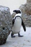 Wild afrikansk pingvin Arkivbild