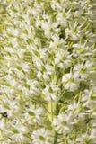 Wild afrikanska blommor - Slingra-huvud gift 3 Royaltyfri Bild