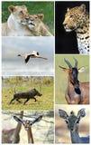 wild afrikanska djur Arkivbild