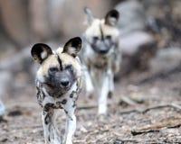 wild afrikanska hundar Arkivbilder