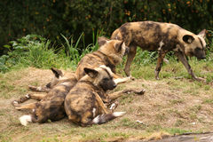 wild afrikanska hundar Arkivbild