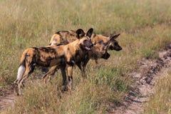 wild afrikanska hundar Royaltyfri Bild