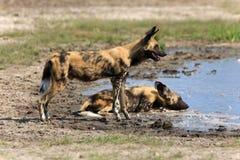 wild afrikanska hundar Arkivfoto