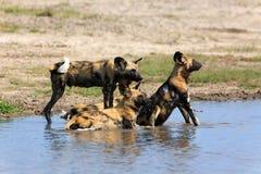 wild afrikanska hundar Fotografering för Bildbyråer