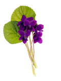 Wild aka dog violets - Viola riviniana, isolated over white Royalty Free Stock Photo