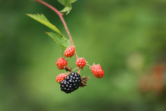 Wild Alabama Blackberries. This a wild blackberry plant that grows in Alabama. It makes great jams and jellies stock photos