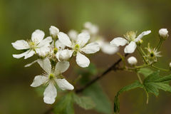 Wild Alabama Blackberry Blossoms Royalty Free Stock Photography