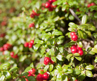 Wild Alaska Low Bush Cranberry. Plants Stock Photos