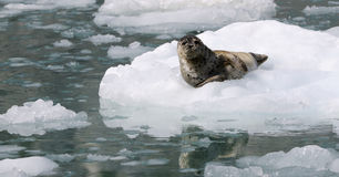 Wild Alaska seal on the ice Stock Photo