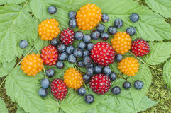 Wild Alaskan berries Stock Photography
