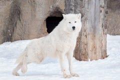 Wild alaskan tundra wolf. Canis lupus arctos. Polar wolf or white wolf. Animals in wildife stock image