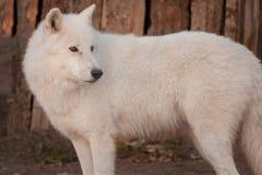 Wild alaskan tundra wolf close up. Canis lupus arctos. Polar wolf or white wolf. Animals in wildlife stock photo