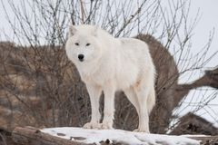 Wild alaskan tundra wolf is looking at the camera. Canis lupus arctos. Polar wolf or white wolf. Animals in wildlife royalty free stock images