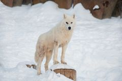 Wild alaskan tundra wolf is looking at the camera. Canis lupus arctos. Polar wolf or white wolf. Animals in wildlife stock photo