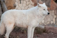 Wild alaskan tundra wolf is looking his prey. Canis lupus arctos. Polar wolf or white wolf. Animals in wildlife royalty free stock photo