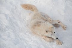 Wild alaskan tundra wolf is lying on white snow. Canis lupus arctos. Polar wolf or white wolf. Animals in wildlife royalty free stock images