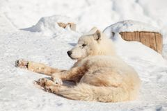 Wild alaskan tundra wolf is lying on white snow. Canis lupus arctos. Polar wolf or white wolf. Animals in wildlife royalty free stock image