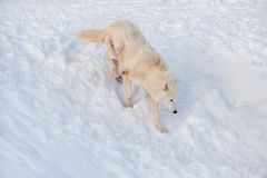 Wild alaskan tundra wolf is running on a white snow. Canis lupus arctos. Polar wolf or white wolf. Animals in wildlife stock image