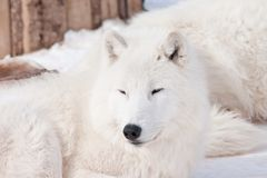 Wild alaskan tundra wolf is snoozing on white snow. Canis lupus arctos. Animals in wildlife royalty free stock photography