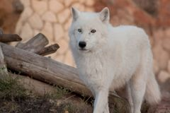 Wild alaskan tundra wolf is standing among the felled trees. Canis lupus arctos. Polar wolf or white wolf. Animals in wildlife stock photos