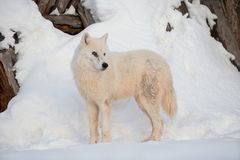 Wild alaskan tundra wolf is standing on white snow. Canis lupus arctos. Polar wolf or white wolf. Animals in wildlife royalty free stock photography