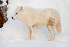 Wild alaskan tundra wolf is standing on white snow. Canis lupus arctos. Polar wolf or white wolf. Animals in wildlife royalty free stock photos