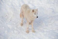 Wild alaskan tundra wolf is standing on a white snow. Canis lupus arctos. Polar wolf or white wolf. Animals in wildlife royalty free stock images