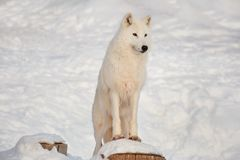 Wild alaskan tundra wolf is standing on the wooden stump. Canis lupus arctos. Polar wolf or white wolf. Animals in wildlife stock images