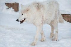 Wild alaskan tundra wolf is walking on white snow. Canis lupus arctos. Polar wolf or white wolf. Animals in wildlife royalty free stock image