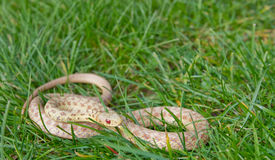 Wild Albino Eastern Garter Snake. An exceedingly rare albino eastern garter snake found in Cape Cod, Massachusetts Stock Photos