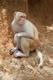 A wild albino macaque Stock Photo