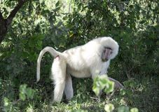 Wild albino male baboon monkey mandrill eating fruit in tropical Tanzania, Africa. Wild albino male baboon monkey mandrill searching for fruit in tropical royalty free stock images