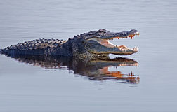 wild alligator royaltyfria bilder