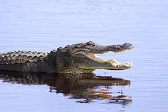 wild alligator Royaltyfri Bild