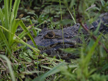 Wild alligator Royalty Free Stock Images