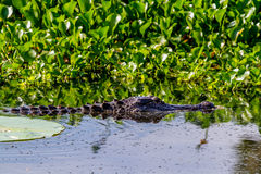 A Wild Alligator Lurking. A Wild Alligator (Alligator mississippiensis) Lurking in Elm Lake, Brazos Bend State Park, Texas, among the Water Hyacinth and Lilies Stock Image